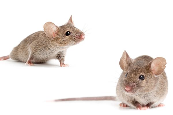 Ridleys Pest Control Rodent Control