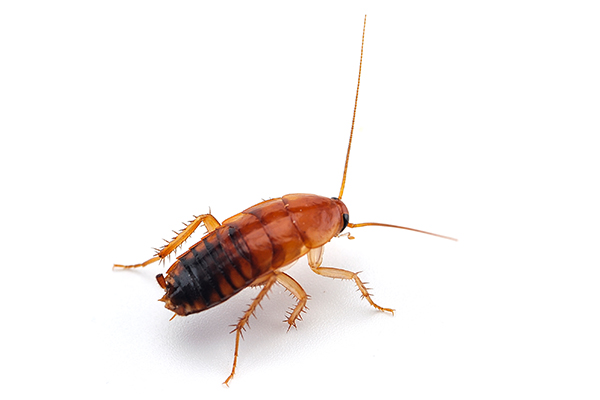 Ridleys Pest Control giant-cockroach