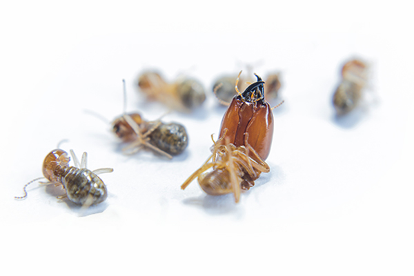 Ridleys Pest Control termite control 2