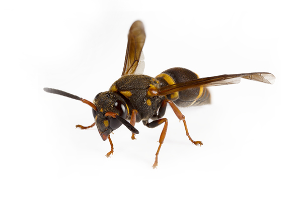 Ridleys Pest Control wasps