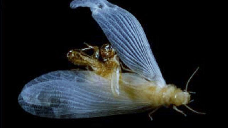 Winged Alates Termite