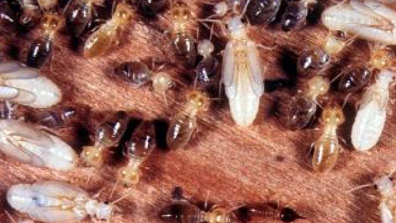 Termites worker termites
