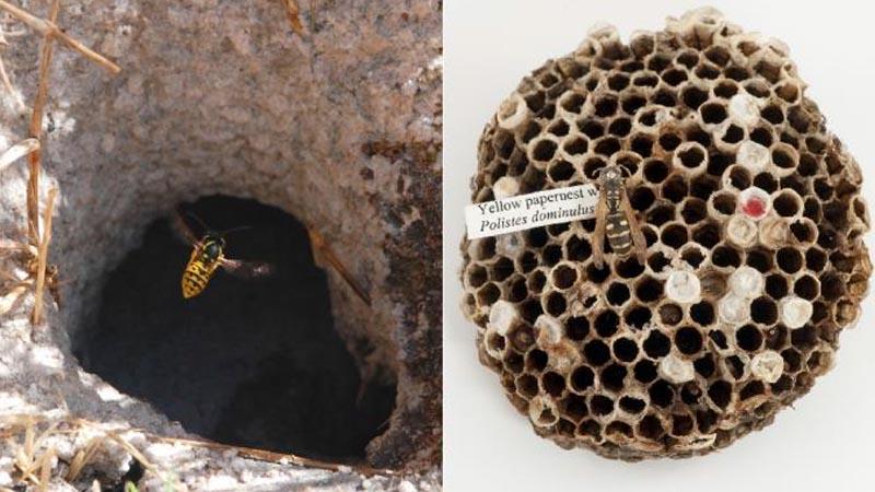 Paper vs European wasp