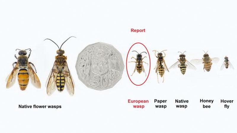Wasps  Types Vic Gov