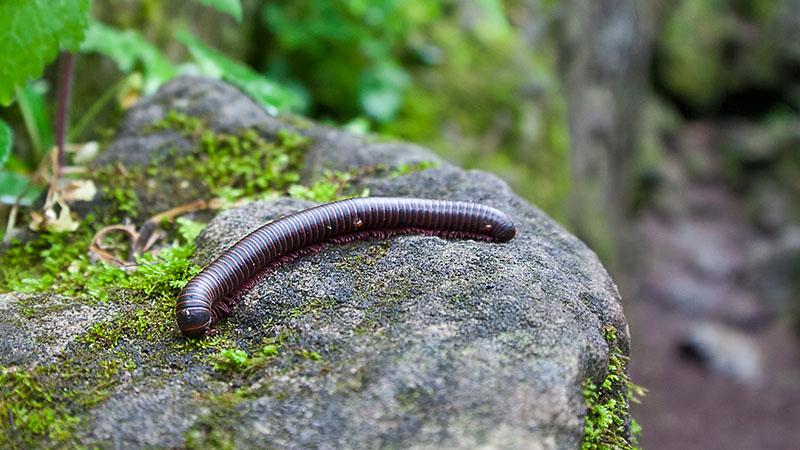 Ridley's Millipede pest control